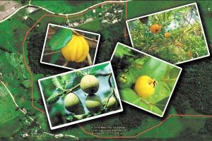Sapotis, uvaias, cabeludinhas, barus, pitangas, seriguelas e tantas outras fazem a flora e a fauna renascerem